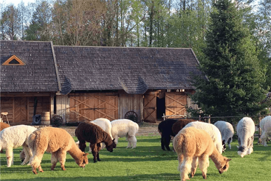 Alpakų ūkis Trakuose - susipažinkite su draugiškiausiais gyvūnais